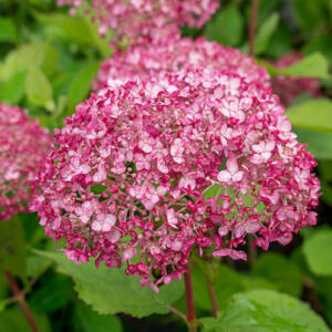 Hydrangea arborescens 'Sweet Annabelle' – Cserjés hortenzia