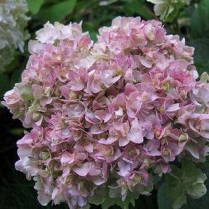 Hydrangea involucrata 'Yokudanka' – Hortenzia