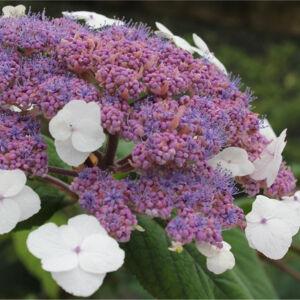 Hydrangea villosa 'Velvet and Lace' – Érdeslevelű hortenzia