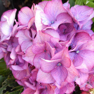 Hydrangea macrophylla 'Baroque Angel' – Kerti hortenzia