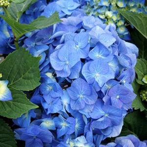 Hydrangea macrophylla 'Bela Blau' – Kerti hortenzia