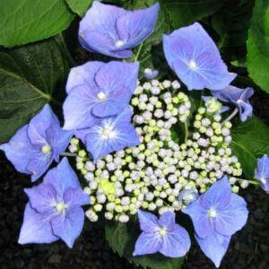 Hydrangea macrophylla 'Blaumeise' – Kerti hortenzia
