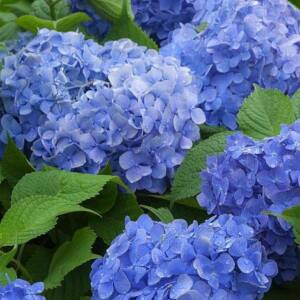 Hydrangea macrophylla 'Blue Power' – Kerti hortenzia