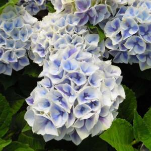 Hydrangea macrophylla 'Candy Blue' – Kerti hortenzia
