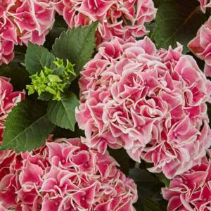 Hydrangea macrphylla 'Candy Heart Pink' – Kerti hortenzia