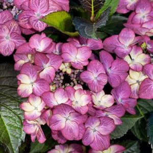 Hydrangea macrophylla 'Dark Angel' – Kerti hortenzia