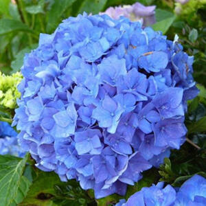 Hydrangea macrophylla 'Early Blue' – Kerti hortenzia