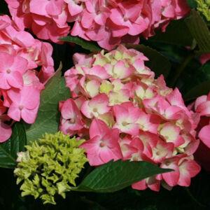 Hydrangea macrophylla 'Early Pink' – Kerti hortenzia