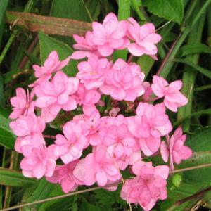 Hydrangea macrophylla 'Forever'® – Rózsaszín hortenzia