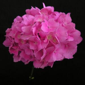 Hydrangea macrophylla 'Gertrud Glahn' – Kerti hortenzia