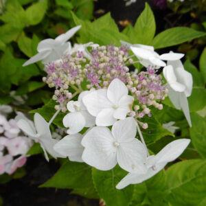 Hydrangea macrophylla 'Lanarth White' – Fehér, kék steril közepű hortenzia