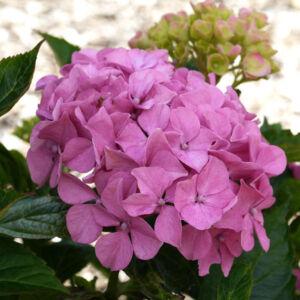 Hydrangea macrophylla 'Lavblaa' – Rózsaszín-kék virágú hoirtenzia