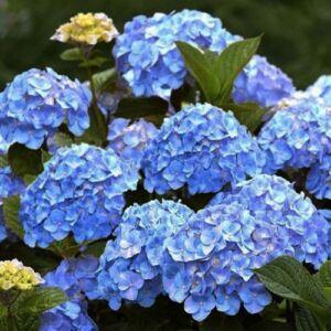 Hydrangea macrophylla 'Little Blue' – Kerti hortenzia