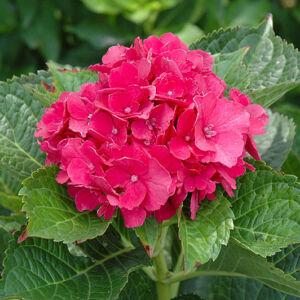 Hydrangea macrophylla 'Masja' – Korall rózsaszín hortenzia