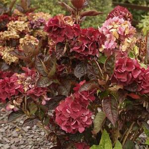 Hydrangea macrophylla 'MerveilleSanguine' – Kerti hortenzia
