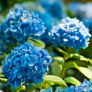 Hydrangea macrophylla 'Nikko Blue' – Kék virágú hortenzia