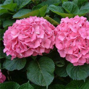 Hydrangea macrophylla 'Pretty Pink' – Kerti hortenzia