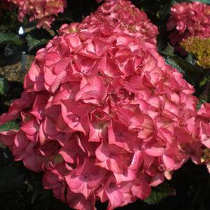 Hydrangea macrophylla 'Red Angel' – Kerti hortenzia
