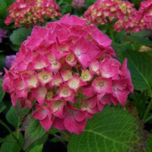 Hydrangea macrophylla 'Red Baron' – Rózsaszín hortenzia