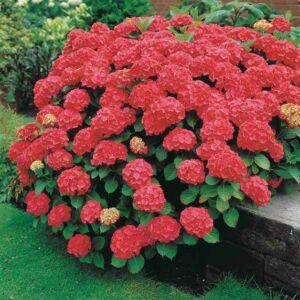 Hydrangea macrophylla 'Red Power' – Kerti hortenzia