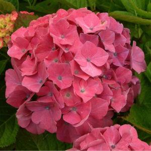 Hydrangea macrophylla 'Rosita' – Mély rózsaszín, nagyvirágú hortenzia