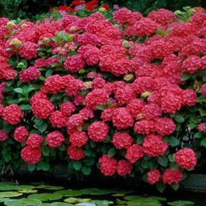 Hydrangea macrophylla 'Royal Red' – Kerti hortenzia