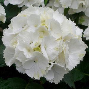 Hydrangea macrophylla 'Schneeball' – Fehér virágú kerti hortenzia