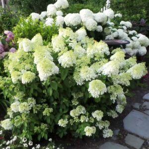 Hydrangea paniculata 'Bobo'® – Fehér bugás hortenzia