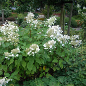 Hydrangea paniculata 'Brussels Lace' – Bugás hortenzia