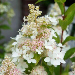 Hydrangea paniculata 'Confetti'® – Fehér bugás hortenzia