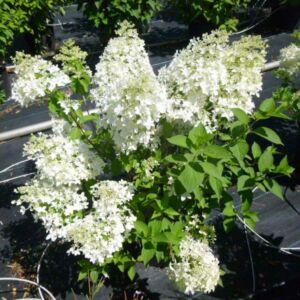 Hydrangea paniculata 'Dentelle de Gorron' – Bugás hortenzia