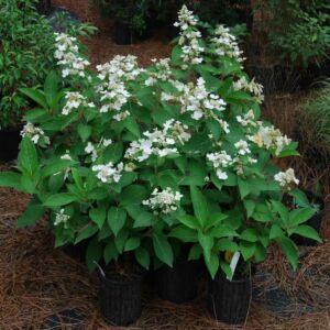 Hydrangea paniculata 'Dharuma' – Bugás hortenzia