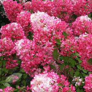 Hydrangea paniculata 'Diamant Rouge' – Bugás hortenzia