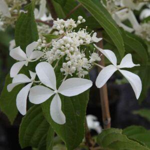 Hydrangea paniculata 'Great Star' – Bugás hortenzia