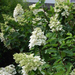 Hydrangea paniculata 'Kyushu' - - Hortenzia