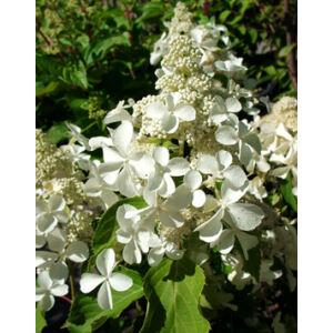 Hydrangea paniculata 'Levana' – Fehér, bugás hortenzia