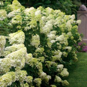 Hydrangea paniculata 'Limelight'® – Fehér bugás hortenzia
