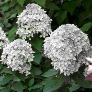 Hydrangea paniculata 'Little Alf' – Bugás hortenzia