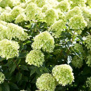 Hydrangea paniculata 'Little Lime'® – Fehér bugás hortenzia