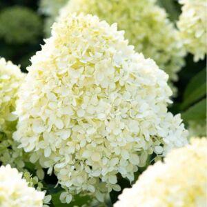 Hydrangea paniculata 'Living Cotton Cream' – Bugás hortenzia