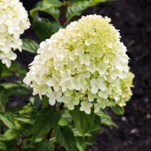 Hydrangea paniculata 'Living Little Passion' – Bugás hortenzia