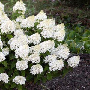 Hydrangea paniculata 'Living Sugar Rush' – Bugás hortenzia