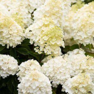 Hydrangea paniculata 'Living Summer Snow' – Bugás hortenzia