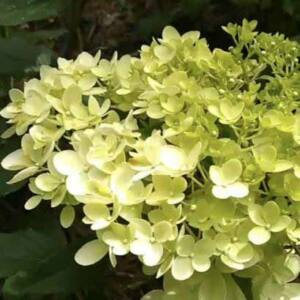 Hydrangea paniculata 'Magical Andes' – Bugás hortenzia