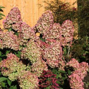 Hydrangea paniculata 'Magical Candle'® – Bugás hortenzia