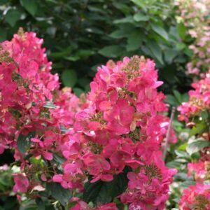 Hydrangea paniculata 'Magical Fire' – Bugás hortenzia