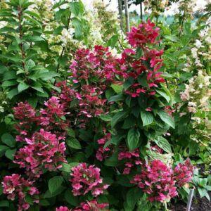 Hydrangea paniculata 'Magical Flame'® – Rózsaszín bugás hortenzia