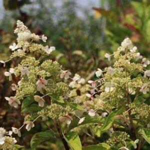 Hydrangea paniculata 'Magical Himalaya' – Bugás hortenzia