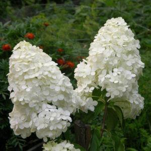 Hydrangea paniculata 'Magical Moonlight'® – Fehér bugás hortenzia