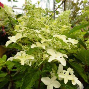 Hydrangea paniculata 'Magical Starlight' – Bugás hortenzia